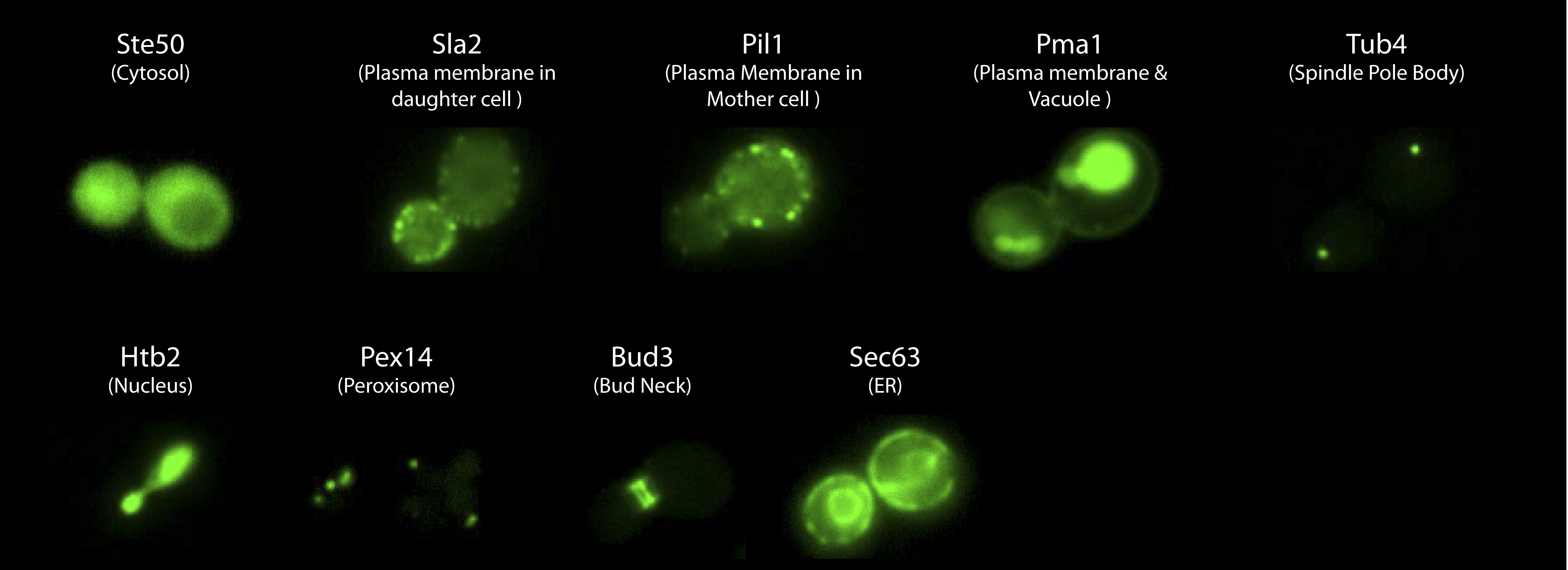 Imaging of proteins with different localizations
